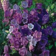 Canterbury Bells mixed - Calycanthema - 2000 seeds